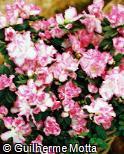 Rhododendron simsii ´Aquarell´