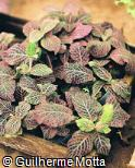 Fittonia albivenis ´Pink Diamond´