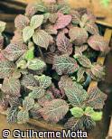 Fittonia albivenis ´Pink Diamond´