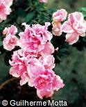 Rhododendron simsii ´Julia´