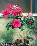 Rhododendron simsii ´Hellmut Vogel´
