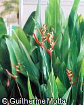 Heliconia schiedeana