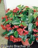 Begonia cinnabarina