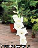 Gladiolus hortulanus ´Amsterdam´