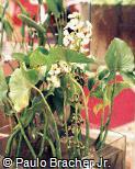 Sagittaria sagittifolia