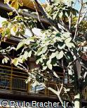Pseudobombax ellipticum
