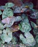 Syngonium podophyllum ´Chocolate´