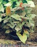 Syngonium podophyllum ´Exotic´