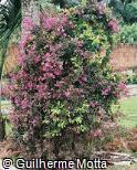 Monochaetum humboldtianum