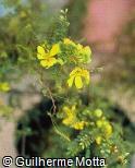Senna polyphylla