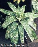 Vriesea ospinae var. gruberi ´Tiger Tin´