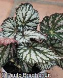 Begonia rex ´Salamander´