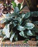 Calathea leopardina