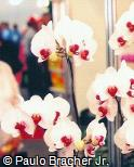 Phalaenopsis  ´Yukimai´