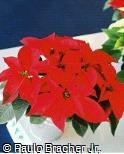 Euphorbia pulcherrima ´Freedom Pink´