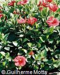 Hibiscus rosa-sinensis ´Brilliant´