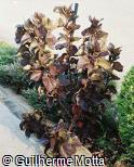 Acalypha wilkesiana ´Moorea´