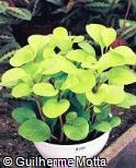 Peperomia obtusifolia ´Gold´