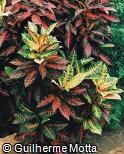 Codiaeum variegatum ´Petra´
