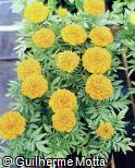 Tagetes patula ´Orange Lady´