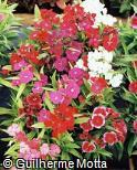 Dianthus chinensis