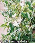 Jasminum laurifolium var. laurifolium