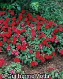 Impatiens walleriana ´Super Elfin Ruby´
