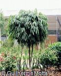 Ficus binnendijkii ´Alii´