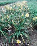 Hemerocallis x hybrida ´Débora Heloísa Nass´