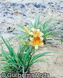 Hemerocallis x hybrida ´Cora Coralina´