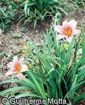 Hemerocallis x hybrida ´Amanda´