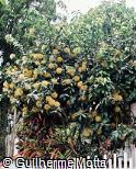 Stifftia chrysantha