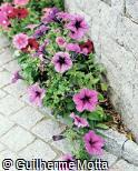 Petunia × hybrida ´Mirage Lavender´