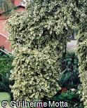 Ficus sagittata ´Variegata´
