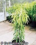 Ficus binnendijkii ´Golden Amstel´
