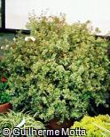 Abelia x grandiflora ´Francis Mason´