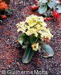 Kalanchoe blossfeldiana ´Gold Strike´