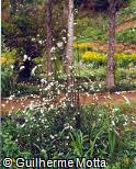 Spiraea × vanhouttei