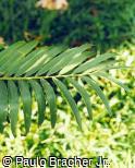 Encephalartos hildebrandtii