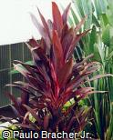Abrir ficha do item Cordyline terminalis