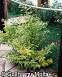 Duranta erecta ´Golden Edge´