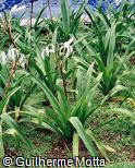 Crinum asiaticum var. asiaticum