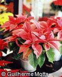 Euphorbia pulcherrima ´Prestige´