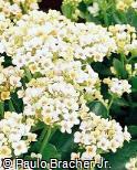 Kalanchoe blossfeldiana ´Blanco´