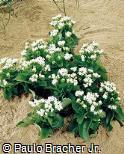 Kalanchoe blossfeldiana ´Simone´