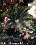 Begonia heracleifolia var. nigricans