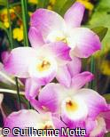 Dendrobium nobile ´Princess´