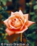 Rosa x grandiflora ´Sari´