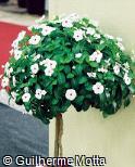 Catharanthus roseus ´Albus Victory Cranberry´