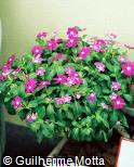 Catharanthus roseus ´Victory´